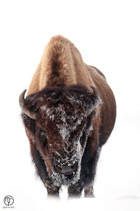 bisont3