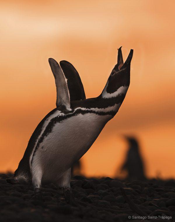 pinguino_de_magallanes__1_